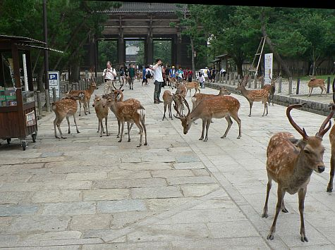 Deer roaming around Nara
